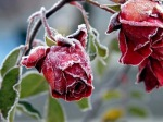 frozen rose 2